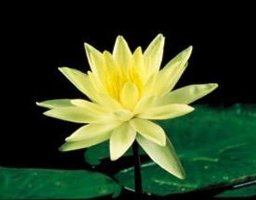 CHARLENE STRAWN (M) Hardy Water Lily (Yellow)