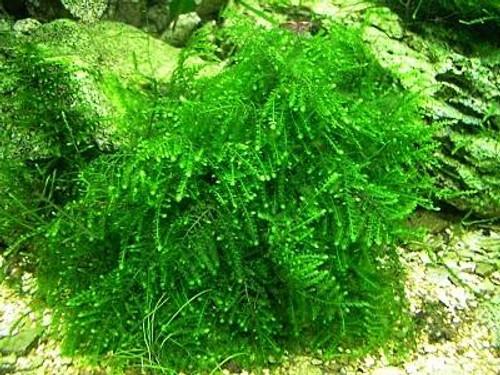 """Christmas Moss 3"""" x 5"""" Mat"""