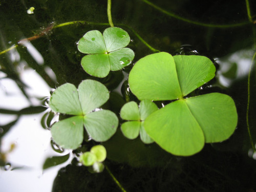 Clover Four Leaf Pot (Marsilea quadrifolia)