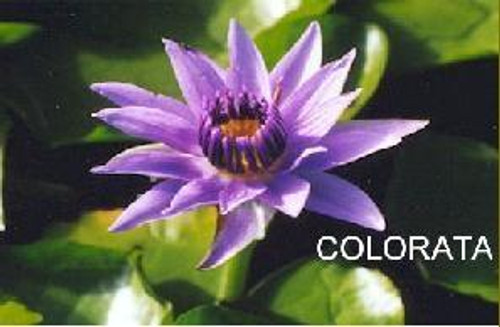 COLORATA (S) Tropical Water Lily-Day Blooming (Blue)