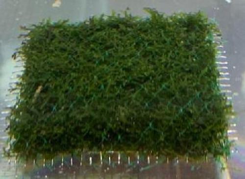 """Coral Moss (Riccardia chamedryfolia) aka Mini Pellia (3"""" x 3"""" mat)"""