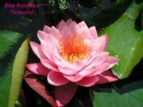 FIRECREST (M) Hardy Water Lily (Pink)