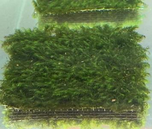Fissidens Fontanus growing on wire mat