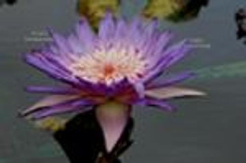 FoxFire (M-L) Tropical WaterLily-Day Blooming (Purple)