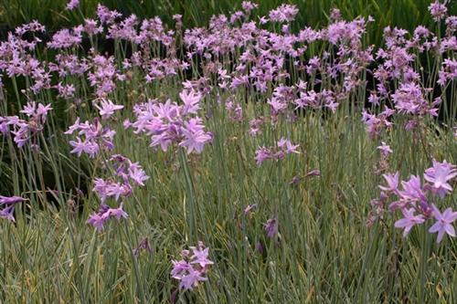 Society Garlic Variegated  (Tulbaghia violacea varigata)(QTY of 6)