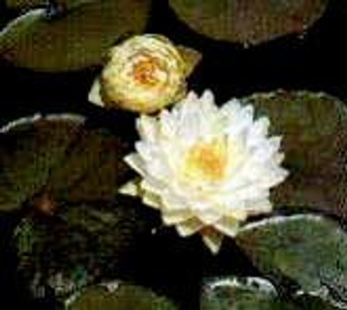 GONNERE (S-M) Hardy Water Lily (White)