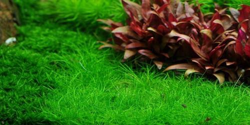"""Hairgrass Dwarf (Eleocharis acicularis ) Mat (10""""x10"""")"""