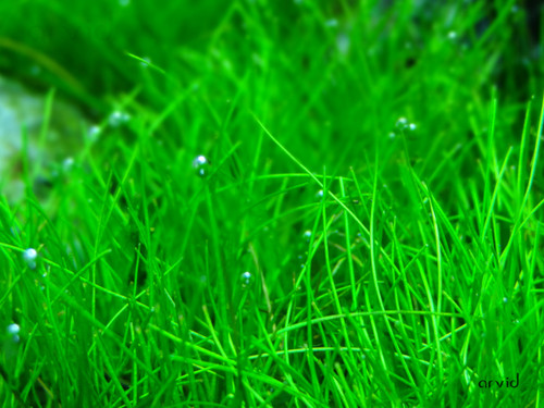 dwarf-hairgrass-aquariumplants.com