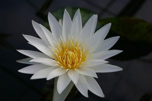 INNOCENCE (M) Tropcial Water Lily-Day Blooming (White)