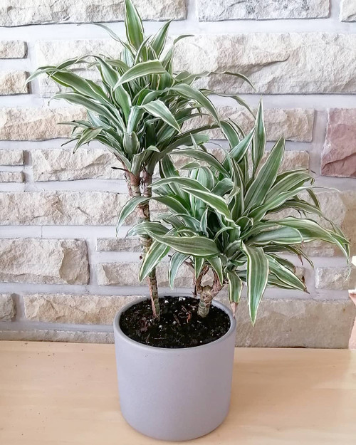 Janet Craig (Pineapple Plant) (Dracaena compacta)