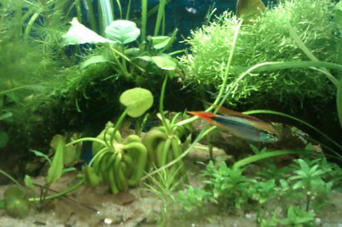 Jumbo Banana Plant (Nymphoides aquatica)