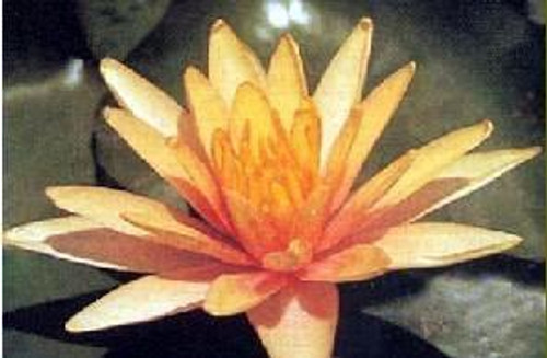 LITTLE SUE (S) Hardy Water Lily (Peach)