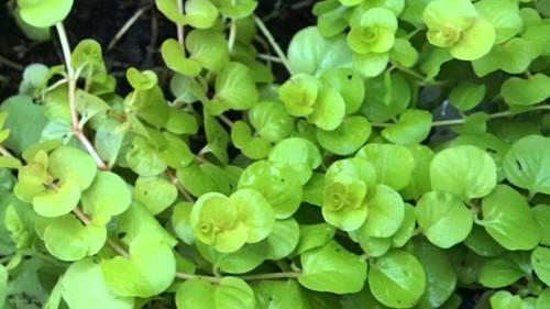 Lloydiella Golden (Lysimachia nummularia var. 'Aurea')