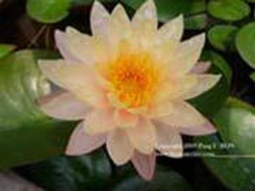 MANGKALA UBOL (S) Hardy Water Lily (Peach)