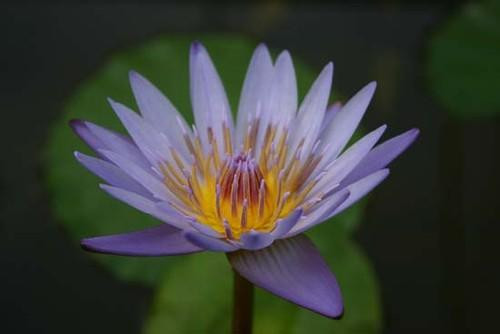 MARGARET MARY (S) Tropical Water Lily Day Blooming (Blue)