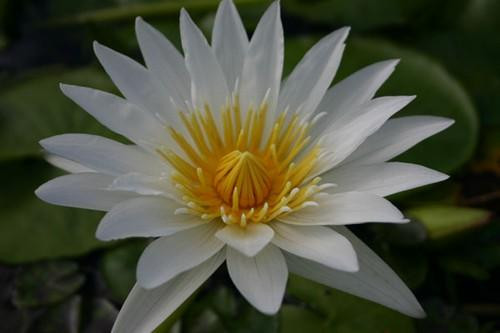 MARIAN STRAWN (M-L) Tropcial Water Lily-Day Blooming (White)
