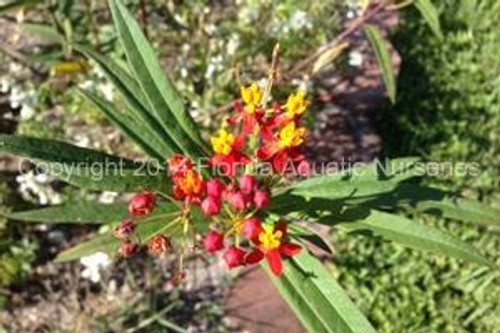 Mexican Butterfly Weed (Asclepias curassavica) (QTY of 6)