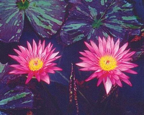 MIAMI ROSE(M-L) Tropical Water Lily-Day Blooming (Pink)
