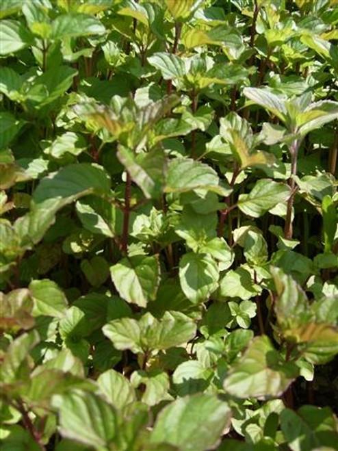 Mint, Aquatic (Mentha aquatica) (QTY of 6 pots)