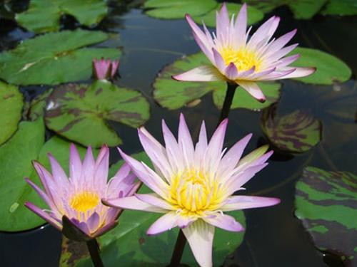 MME. GANNA WALSKA (M) Tropical Water Lily-Day Blooming (Lavender)