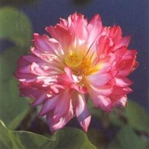 MOMO BOTAN Double Pink Lotus Tubers