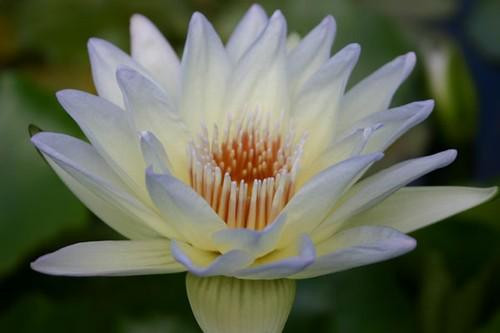 Moonbeam (M) Tropical Water Lily Day Blooming (Blue/Green)