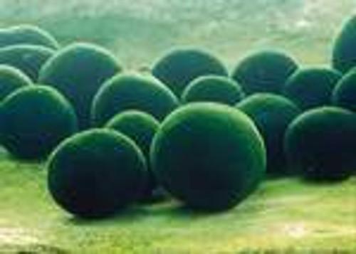 """Moss Balls .75""""-1"""" Diameter (4 per order)(Cladophora aegagrophila)"""