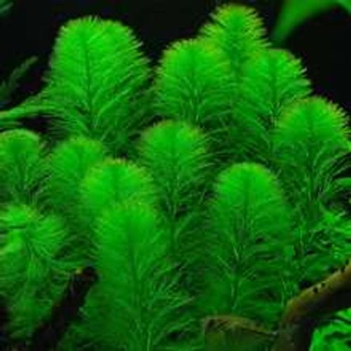 Myrio+Green+(Myriophyllum+pinnatum)+aquariumplants.com