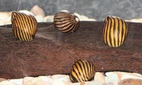 Nerite Zebra Snail (10 per order)