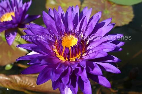 Tanzanite Tropical Waterlily Day Blooming Purple