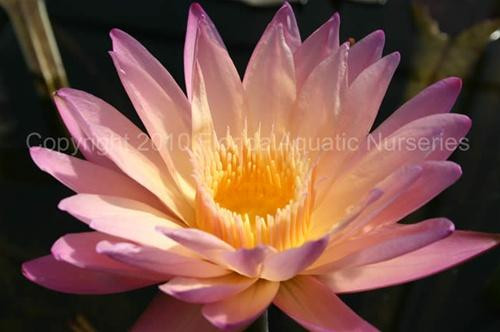 Nymphaea 'Tropic Sunset' (M-L) Tropical Waterlily Day Blooming (AUTUMN)
