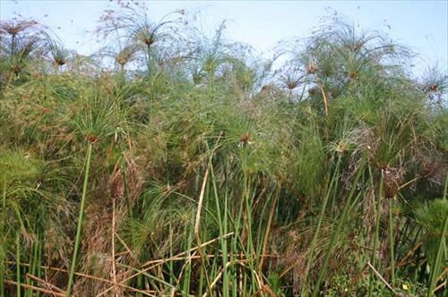 PAPYRUS, GIANT (Cyperus papyrus) (Qty of 6)
