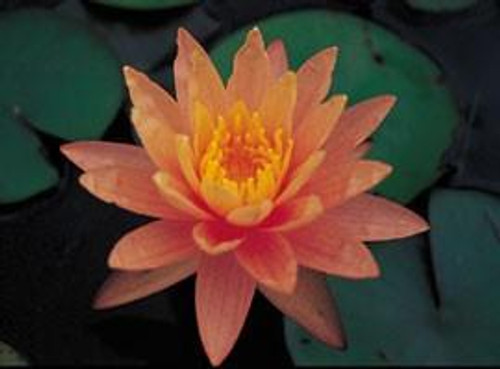 Pink Grapefruit (M-L) Hardy Water Lily (Peach)