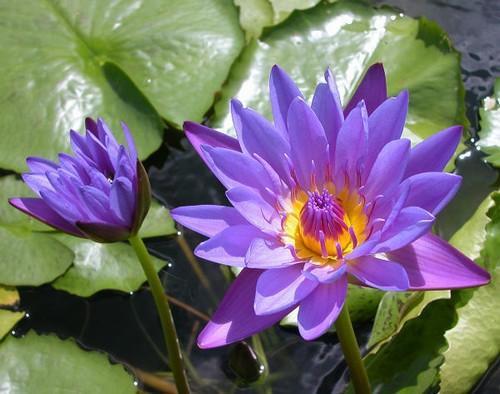PURPLE ZANZIBAR (M-L) Tropical Water Lily Day Blooming (Purple)
