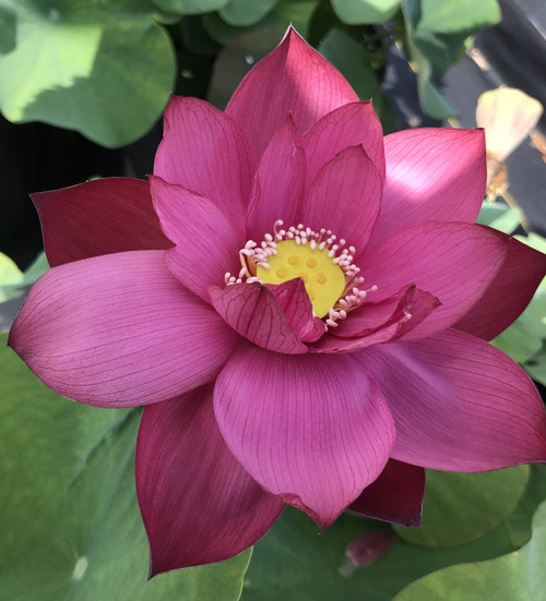 Tender-Love-Nelumbo-Nucifera-aquariumplants.com