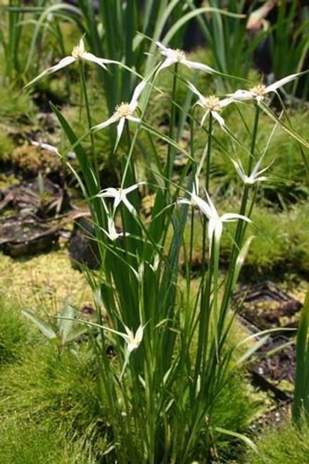 STAR GRASS (Dichromena colorata) (Qty of 6)