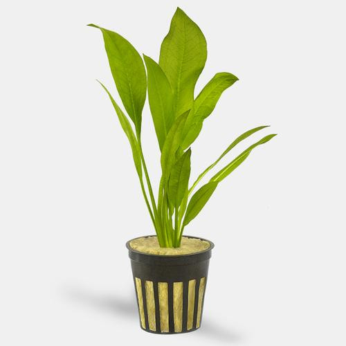 Sword Amazon Pot (Echinorodus bleheri)