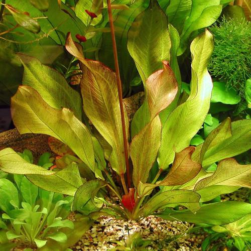 Sword Frans Stoffels LG Pot (Echinodorus sp. Frans Stoffels)