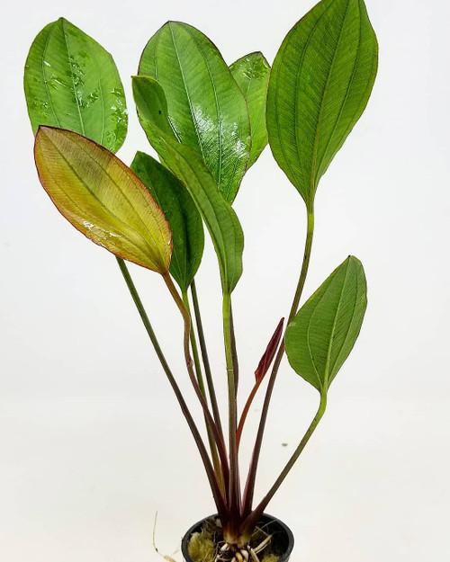 Sword Red Melon Pot (Echinodorus barthii)