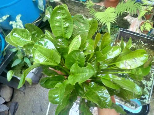 Sword Rosette (Parviflorus parviflorus 'Tropica')