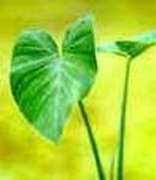 TARO, GREEN (Colocasia esculenta) (Qty of 6)