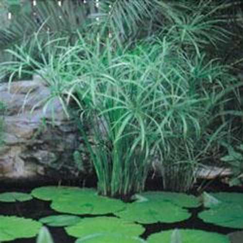 UMBRELLA PALM, DWARF (Cyperus alternifolius Gracilis) (Qty of 6)