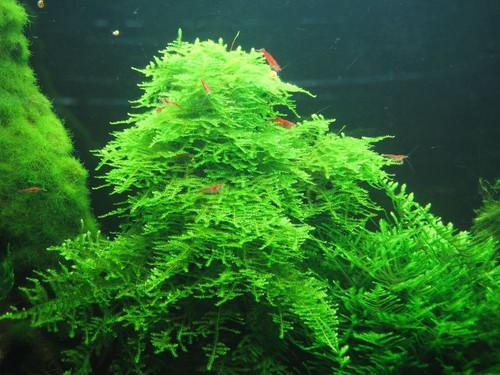Vesicularia montagnei 'Christmas moss' portion