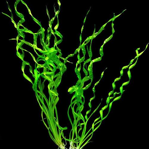 Vesuvius (Echinodorus Angustifolia)(bare root)(3 per order)
