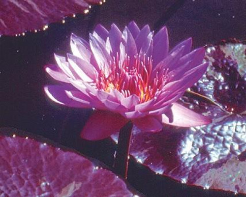 WILLIAM MCLANE (M) Tropical Water Lily-Day Blooming (Purple)