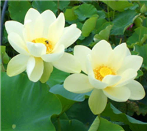 Yellow Bird (Nelumbo nucifera)