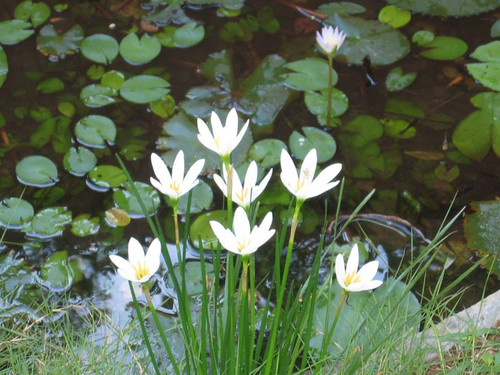ZEPHYR LILY (Rain Lily) White (Zephyranthes candida) (Qty of 6)