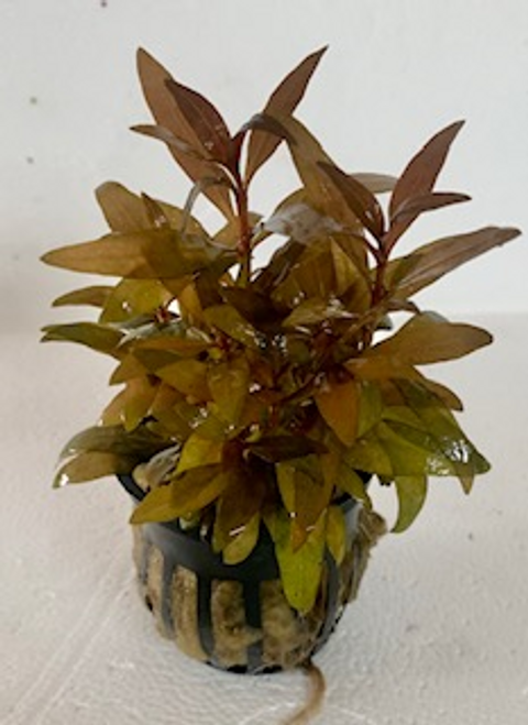 Potted Alternanthera reineckii Mini version. Keeping it trimmed around 1 - 3 inches creates a nice dense ground cover.
