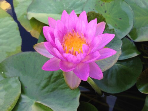 'Siam Purple 2' is one of the first hardy purple water lilies ever created.