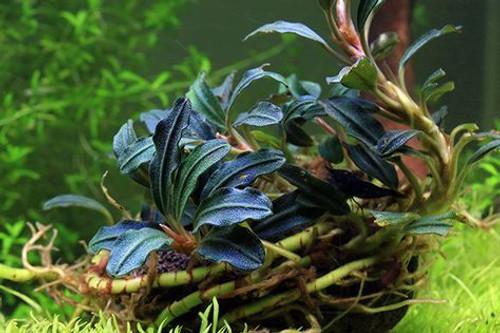 Bucephalandra Kedagang Green Long